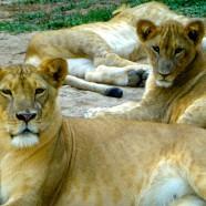 Il leone e la gazzella