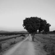 Una quercia sul cammino di Santiago