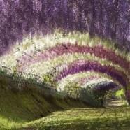 Tra i luoghi più belli al mondo… Wisteria Tunnel (Kawachi Fuji Garden, Giappone)